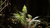 liána : Close shot of a brightly illuminated fern against the dark background of the forest. California