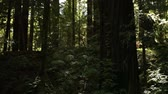 emaranhado : Shot of a forest in California. Creeping vines climb the trunk of a large deciduous tree.