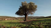 golan : Low angle dolly left to right with a lone tree in the hills of Israel being the focus of the shot. Looks like an olive tree.