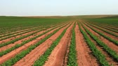 soja : Wide pan, right to left, of rows of green cultivated bean plants, planted in the soil of Israel. Vídeos