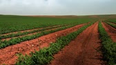linha do horizonte : Wide shot of a field of bean plants growing in rows in Israel. Vídeos