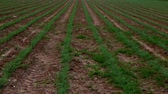 soja : Tilt down of a soy bean field in Israel with small, green, young plants in rows in the early spring. Vídeos