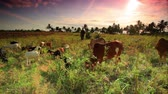 юг : Cattle and Goats graze in African sunset