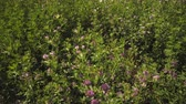 borboleta : Static shot of purple flower bushes. The wind is blowing. A yellow butterfly is visible.