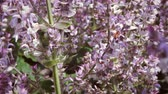 нектар : Close-up shot of light purple flowers moving in breeze. Bumble bee is visible flying around flowers. Стоковые видеозаписи