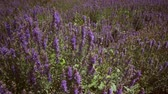 lupine : Tilting shot of field of lupins. Shot tilts to show mountains and sky. Stock Footage