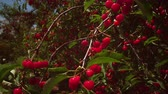 cherrytree : Static shot of cherries in trees Stock Footage