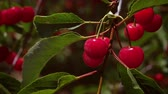 cherrytree : Close-up shot of a bunch of cherries on a tree Stock Footage