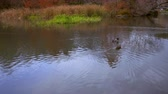 yansıma : Shot of ducks swimming towards arched bridge in central park. Stok Video