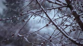geada : Close-up shot of a trees branches during a snowstorm
