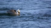 pelikán : Slow motion shot of Pelican floating in the waves as it fishes and swallows.