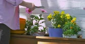 greenhouse : Zoomed view of woman using scissors to cut and trim her flowers. Stock Footage