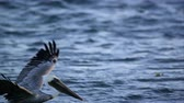 pelikán : Slow motion of Pelican taking to flight after floating in the ocean.