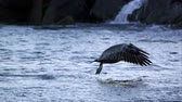 pelikán : Slow motion shot of Pelican in flight then diving into the water after a fish.