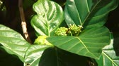 tropikal meyve : Bee lands on Noni fruit flowers and collects nector surrounded by large green noni leaves.