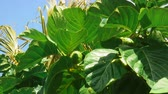 tropikal meyve : Medium shot of noni plant leaves and fruit swaying in the wind under a bright sun with dried palm leaves in background Stok Video