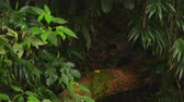 ocultação : Racking focus of a jungle with dense foliage as the blurred head of a man passes in front of the camera. Filmed June 24, 2013.