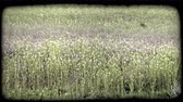 wzrost : Part of pasture filled with tall grasses and pretty purple flowers. Vintage stylized video clip.