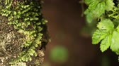 ladrão : Close-up racking focus pan of moss-covered tree trunk and branch. Filmed in Kenya, Africa.