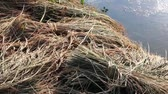 thai : Slow pan across bundled harvested rice stalks in field next to pond in Asia
