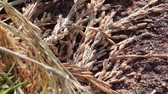thai : Slow close up pan across individual rice grains on stalks in harvested rice bundle next to shimmering pond in Asia