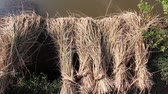 thai : Slow pan across bundled harvested rice stalks drying in the sun next to pond in Asia Stock Footage