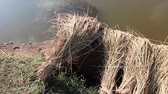 thai : Slow pan from left to right across bundles of harvested rice drying in the sun next to a pond in Asia Stock Footage