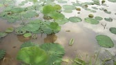thai : High angle slow pan across leafy lily pads in Southeast Asian pond