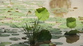 жаба : Tilt down to medium shot of big green water lillies blowing on a pond in the Southeast Asian countryside
