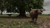 thai : Tilt down from large Banyan tree as Asian waterbuffalo stares at camera in field in rural Southeast Asia, with second waterbuffalo visible behind Stock Footage