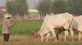 Farmer wrangles his cows in Cambodia at late afternoon in a rice field