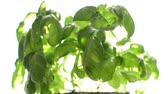Basil on windowsill and sunblind or louvers close Vídeos