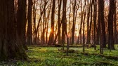Sunset at forest with snowdrop time lapse