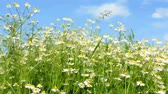 Field of camomile in the windy weather video