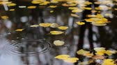mere : Yellowed autumn leaves floating on the surface of a pond, and drops that falle from above branches and make waving circles on the water surface.