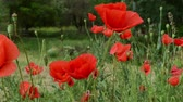 haulm : Red poppies close up. Ornamental poppies are grown for their colorful flowers