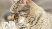 lugares sentados : Tabby cat portrait with short depth of field.