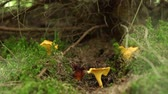 delicadeza : Yellow chanterelle mushrooms in the forest. Vídeos