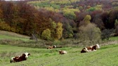 mere : Group of spotted cows resting on the grass in an ecological grassland.