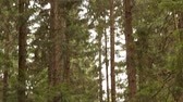 trough : Pathway trough the fir forest. Stock Footage
