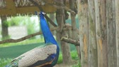 sobreposição : A peacock portrait with the tail folded. Stock Footage