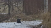 numaracı : Black curly dog sitting on the ground on a snowy winter road. Stok Video