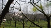 blossom : Blosoom of the apple tree. Branch with blosoom. Stock Footage