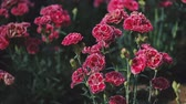 goździk : Beautiful carnation flowers in the spring close-up.