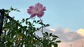 róża : Time lapse of pink blooming pink rose with slow moving clouds