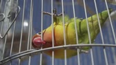 papoušek : Video of parrot bird over blue sky background during summer sunny day - video in slow motion