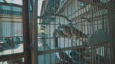pískat : Video of dove birds in the cage on the traditional market in Bali, Indonesia