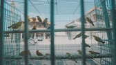 imprisoned : Video of small birds in the cage on the traditional market in Bali, Indonesia Stock Footage