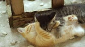 ушки : Small adorable kittens with blue eyes playing outdoors