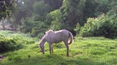 kötél : Beautiful white horse eating at small field in Thailand